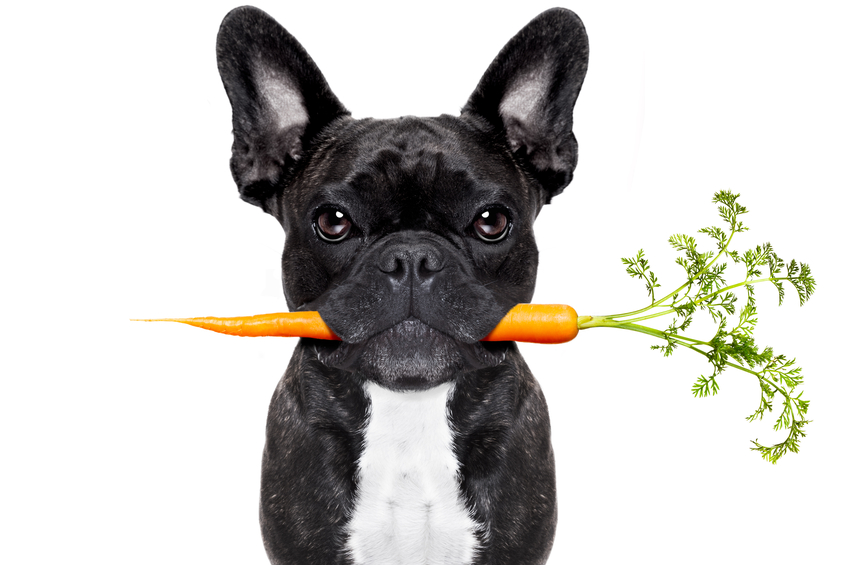 healthy food eating french bulldog with vegan or vegetarian carrot in mouth, isolated on white background
